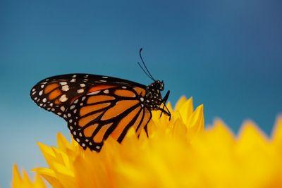 Бабочкам-монархам грозит вымирание втечение 20лет