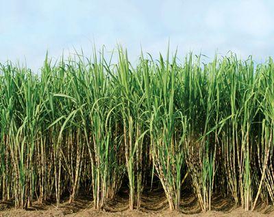Биодизель из сахарного тростника