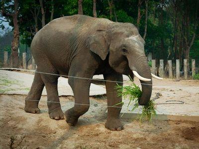 Биологи раскрыли тайну иммунитета слонов к раку