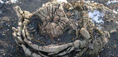 Древесные кольца поведали ученым дату древнего извержения