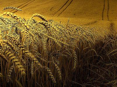 Геном пшеницы пал под натиском исследований ученых великобритании