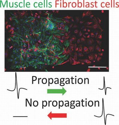Исследователи создали первый живой диод, состоящий из клеток мышечной ткани сердца