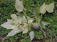 Ятрофа является самым эффективным источником биотоплива