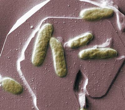 Электрические бактерии помогут в создании «живых» батареек
