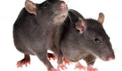 Крысятина под баранину