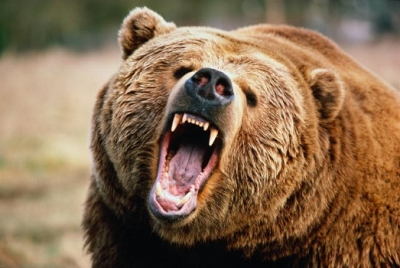 Медведи терроризируют жителей камчатки