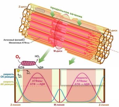 Механизм развития нарушений работы мышц у больных хобл