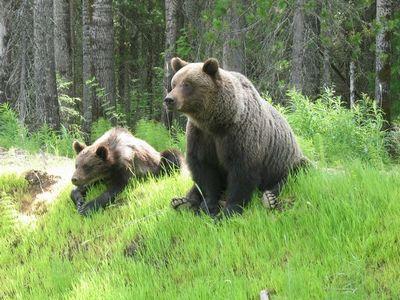 На сахалине медведица с медвежатами появилась на территории больницы