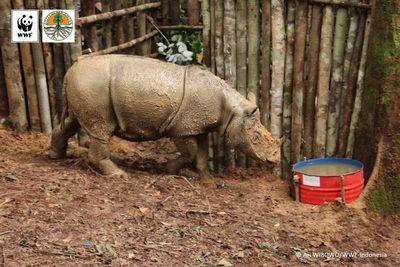 Наборнео впервые за40лет обнаружили суматранского носорога