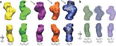 Найден ответ на вопрос, как плутоний попадает в клетки
