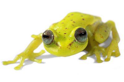 Найдена первая флуоресцентная лягушка