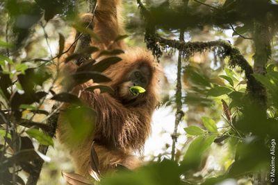 Открыт новый вид человекоподобных обезьян