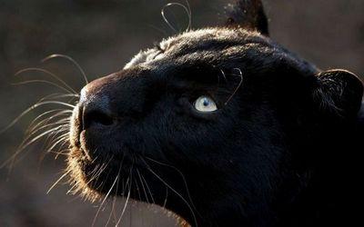 «Пантера-охотник»