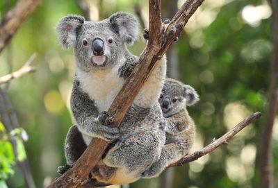 Переход налетнее время может спасти жизнь коалам