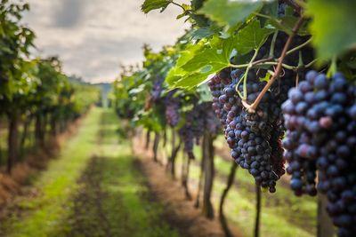 Погода сократила производство вина в европе