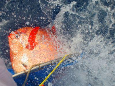 Поймана уникальная теплокровная рыба: фото ивидео