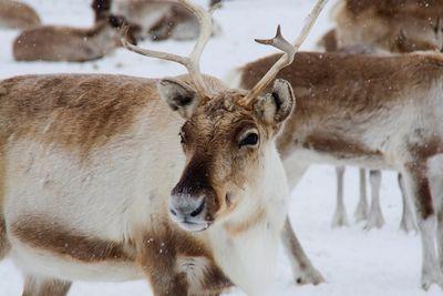 Рождественские чудеса, или почему северные олени меняют цвет глаз