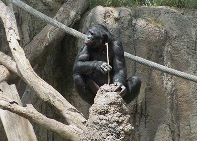 Шимпанзе учат детенышей рыбачить