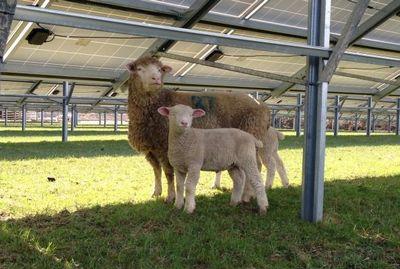 Солнечная электростанция на ферме по разведению лам