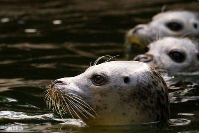 Тюленьи усы помогут создать новые сенсоры для кораблей
