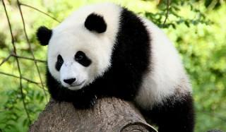 Трем китайцам грозит казнь за убийство и съедение панды