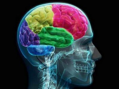 Ученые: большой мозг помогает выжить женщинам, но не мужчинам