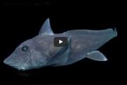 Ученые нашли странного предка акулы-призрака