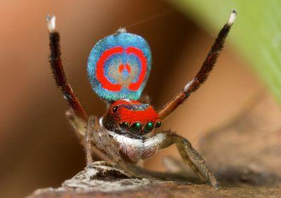 Ученые раскрыли цветные тайны паука-павлина