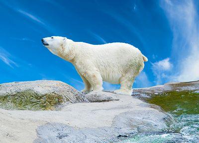 Ученые рассказали, как таяние льдов влияет наэнергозатраты медведей