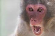 Ученые: стареющие обезьяны теряют интерес кобщению