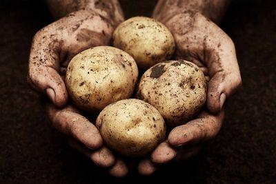 Урожай, опоздавший на3000лет: археологи откопали древнейший картофель