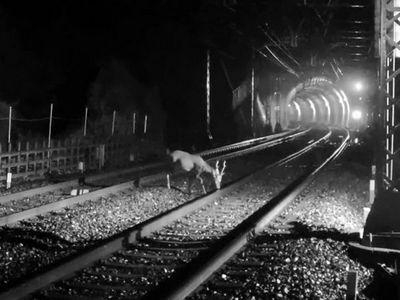 В японии оленей спасают от поездов при помощи фырканья и ультразвуковых волн