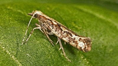 В сша впервые выпустят на поля генно-модифицированных насекомых