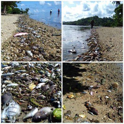Врезультате аномального потепления побережье фиджи засыпало мертвой рыбой