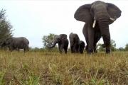 Всомали впервые за20лет пришел слон