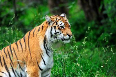 Выпущенные наволю путиным тигры обосновались вдикой среде